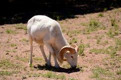Ram de Dall Foto de Stock