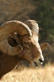 RAM de las ovejas de Bighorn Imágenes de archivo libres de regalías