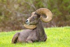Ram de las ovejas de Bighorn del desierto Imágenes de archivo libres de regalías