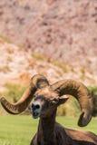 Ram de las ovejas de Bighorn del desierto Foto de archivo libre de regalías