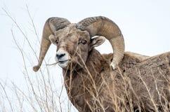 Ram de las ovejas de Bighorn en invierno en parque nacional de los Badlands Fotografía de archivo libre de regalías
