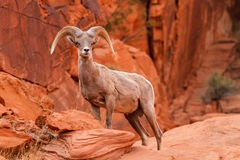 Ram de las ovejas del Big Horn del desierto Imagenes de archivo