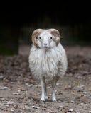 RAM de las ovejas del claxon Fotografía de archivo libre de regalías