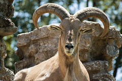 Ram de montagne Photo libre de droits