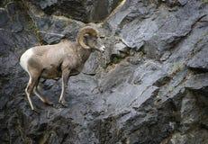 Ram de mouflons d'Amérique Images stock