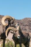 RAM de mouflons d'Amérique de désert Photographie stock