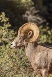Ram de mouflons d'Amérique de désert Image stock