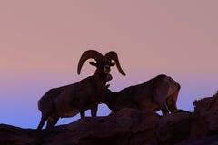 RAM de mouflons d'Amérique de désert au coucher du soleil Photographie stock