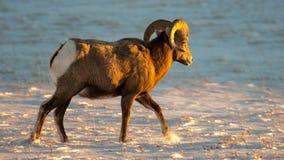 Ram de mouflons d'Amérique en hiver en parc national de bad-lands image libre de droits
