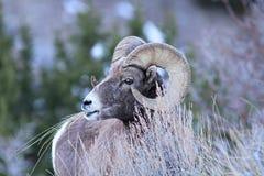 RAM de moutons de Big Horn Image libre de droits