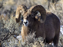 RAM de moutons de Big Horn Photos libres de droits