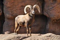 Ram de moutons de Big Horn sur une falaise rocheuse Image stock