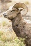 RAM de regard intense de mouflon d'Amérique dans le format vertical photo stock