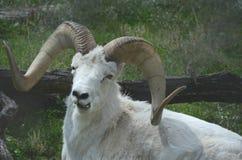 Ram de repos de moutons de Dall Photo libre de droits