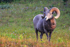 Ram de Rocky Mountain Big Horn Sheep Fotos de archivo