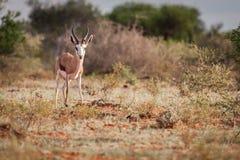 RAM de springbok regardant fixement le photographe images stock