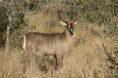 Ram de Waterbuck Foto de Stock Royalty Free