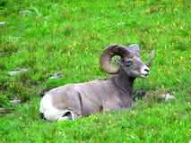 Ram del Bighorn Fotografie Stock