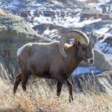 Ram del Bighorn Imagen de archivo libre de regalías