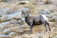 Ram del Bighorn - Colorado Rocky Mountain Bighorn Sheep Fotografie Stock