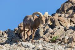 Ram del Bighorn del deserto in rocce fotografie stock