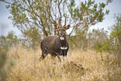 RAM del Bushbuck Imagen de archivo