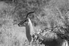 Ram del Impala che sogna nell'orizzonte Fotografia Stock Libera da Diritti