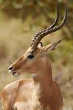 RAM del impala en perfil foto de archivo