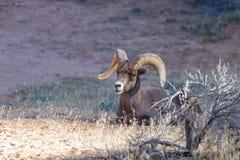 Ram del maschio adulto Fotografie Stock Libere da Diritti