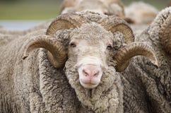 Ram del merino di Saxon Fotografia Stock Libera da Diritti