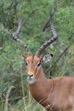 Ram dell'impala Fotografia Stock