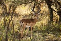 Ram dell'impala Immagini Stock