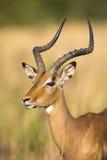 Ram dell'impala che cerca il ritratto possibile del pericolo Fotografie Stock Libere da Diritti