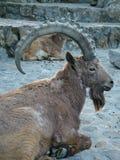 Ram della capra Fotografia Stock