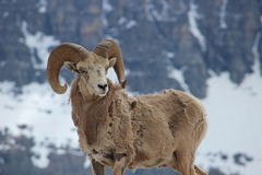 Ram della montagna al passaggio di Logan Fotografia Stock Libera da Diritti