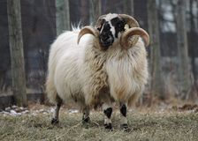 Ram delle pecore Fotografia Stock Libera da Diritti