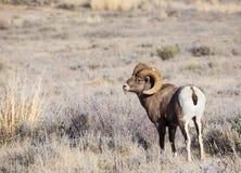 Ram delle pecore Bighorn Fotografia Stock Libera da Diritti