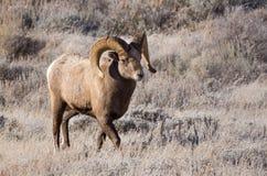 Ram delle pecore Bighorn Fotografie Stock