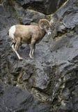 Ram delle pecore Bighorn Fotografie Stock Libere da Diritti