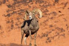 Ram delle pecore Bighorn del deserto in rocce Immagine Stock Libera da Diritti