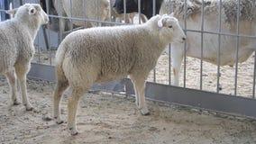 Ram delle pecore che stanno in una stalla video d archivio