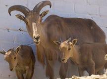Ram delle pecore del Big Horn Immagini Stock Libere da Diritti
