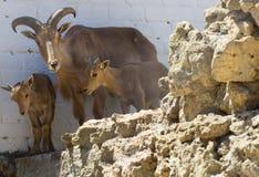Ram delle pecore del Big Horn Immagini Stock