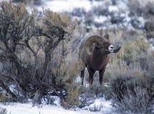 Ram delle pecore del Big Horn in artemisia Fotografia Stock