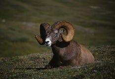 Ram delle pecore di Bighorn Fotografia Stock Libera da Diritti