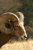 Ram delle pecore di Bighorn Immagini Stock Libere da Diritti