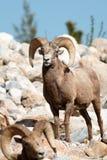 Ram delle pecore di Bighorn Fotografie Stock Libere da Diritti