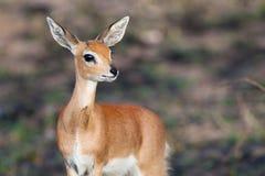 Ram dello Steenbok Immagine Stock