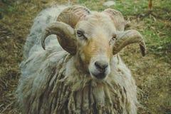 Ram, der mit Wolle und grünem und braunem Hintergrund anstarrt stockbild