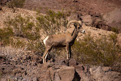 Ram desert big horn sheep. Desert big horn sheep standing on a rock Royalty Free Stock Photography